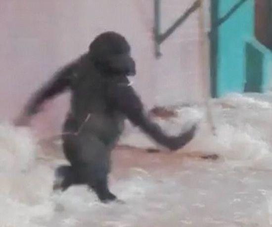英一动物园大猩猩优雅跳舞似芭蕾舞演员